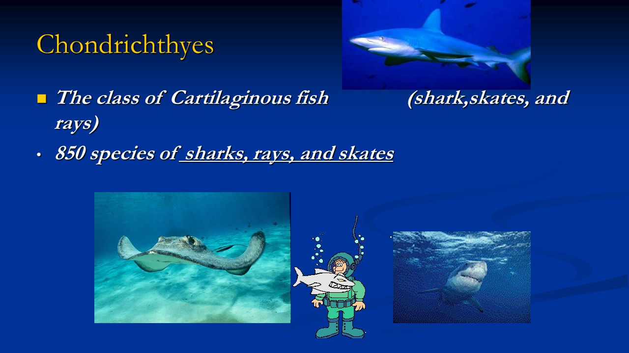 Chondrichthyes The class of Cartilaginous fish (shark,skates, and rays) 850 species of sharks, rays, and skates.
