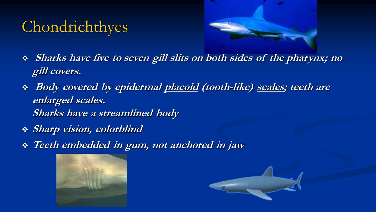 Chondrichthyes Sharks have five to seven gill slits on both sides of the pharynx; no gill covers.