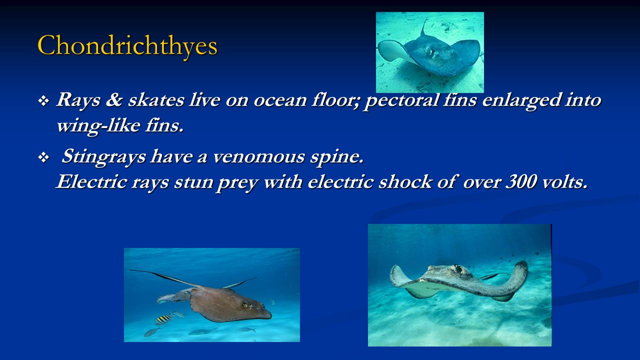 Chondrichthyes Rays & skates live on ocean floor; pectoral fins enlarged into wing-like fins.