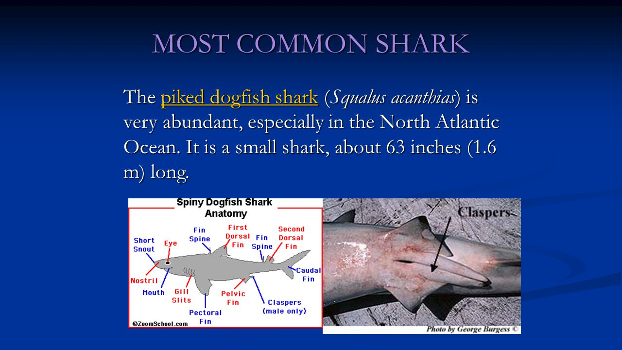 MOST COMMON SHARK