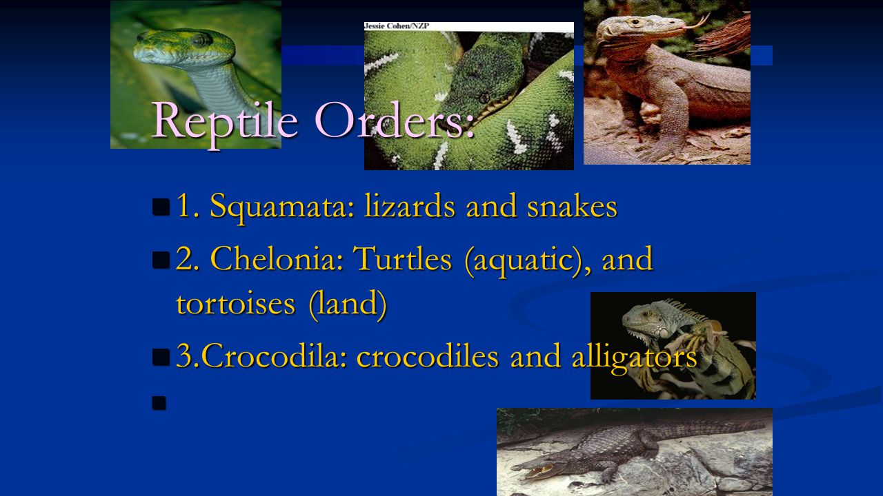 Reptile Orders: 1. Squamata: lizards and snakes