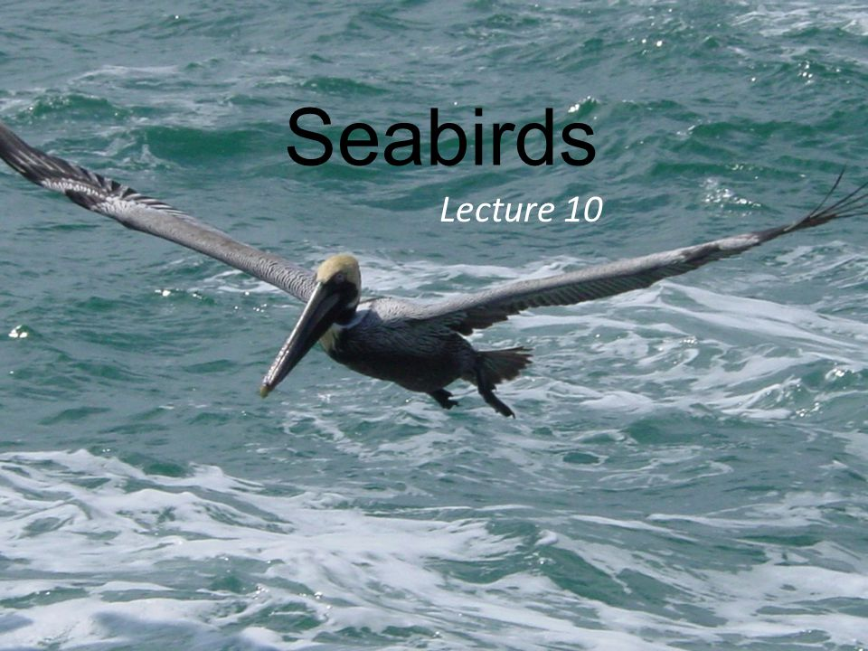 Seabirds Lecture 10