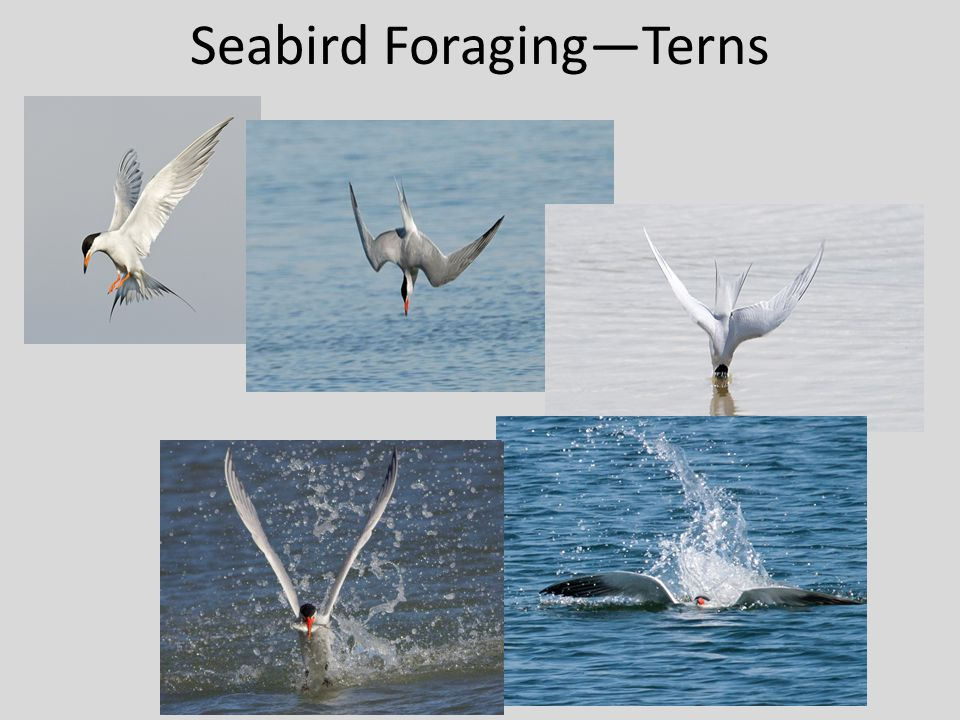 Seabird Foraging—Terns