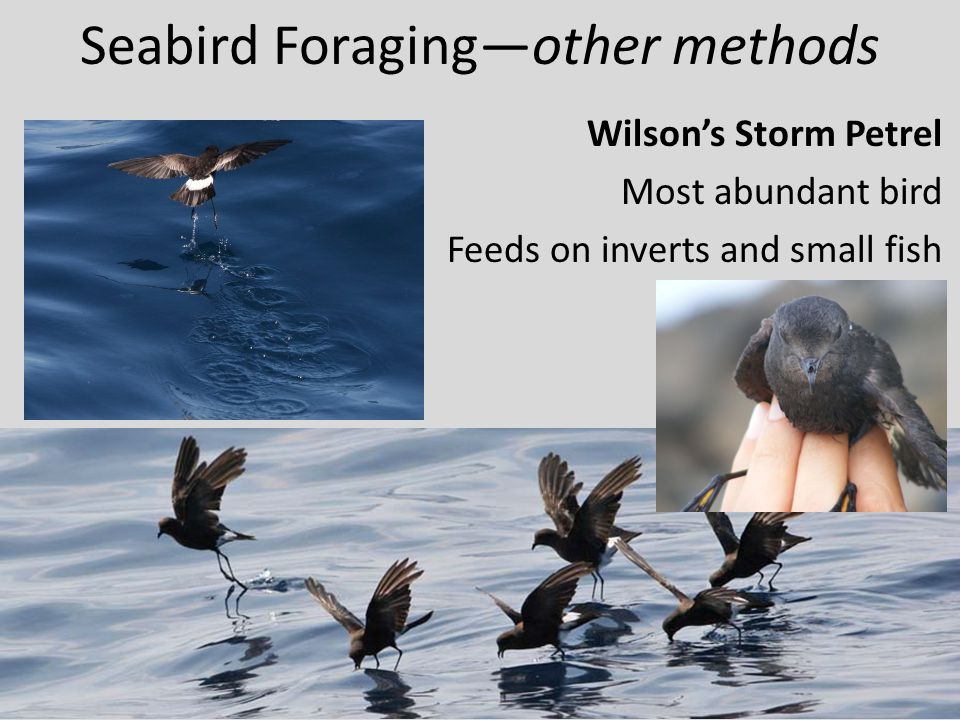Seabird Foraging—other methods