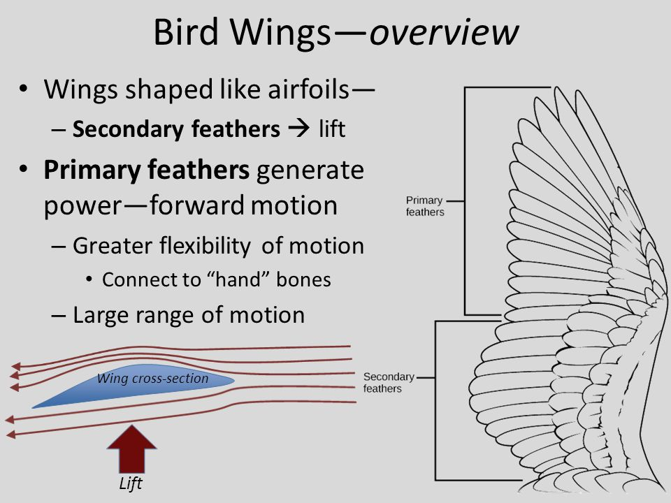 Bird Wings—overview Wings shaped like airfoils—