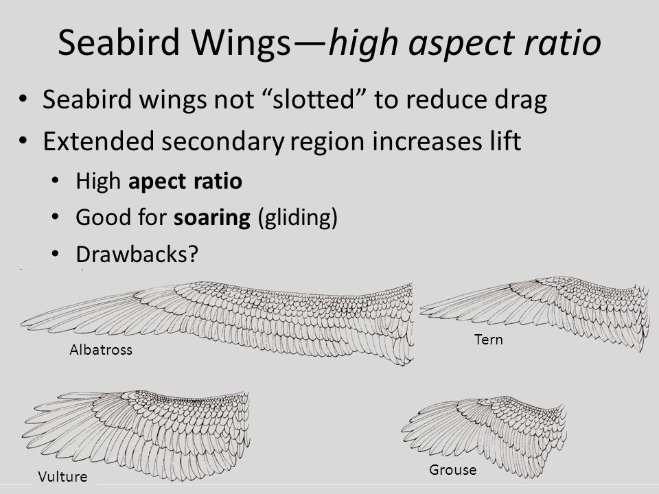 Seabird Wings—high aspect ratio