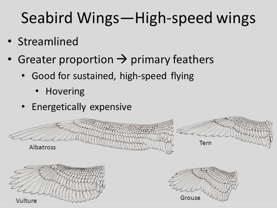 Seabird Wings—High-speed wings