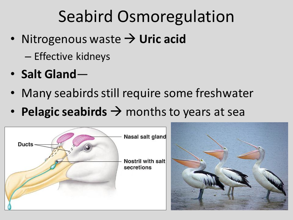 Seabird Osmoregulation