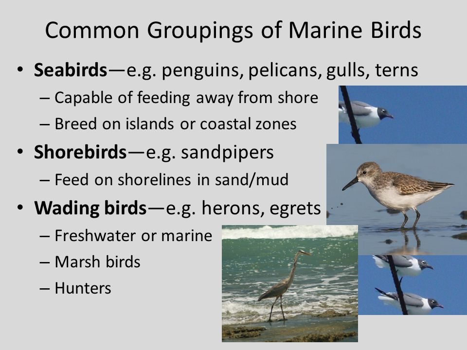 Common Groupings of Marine Birds