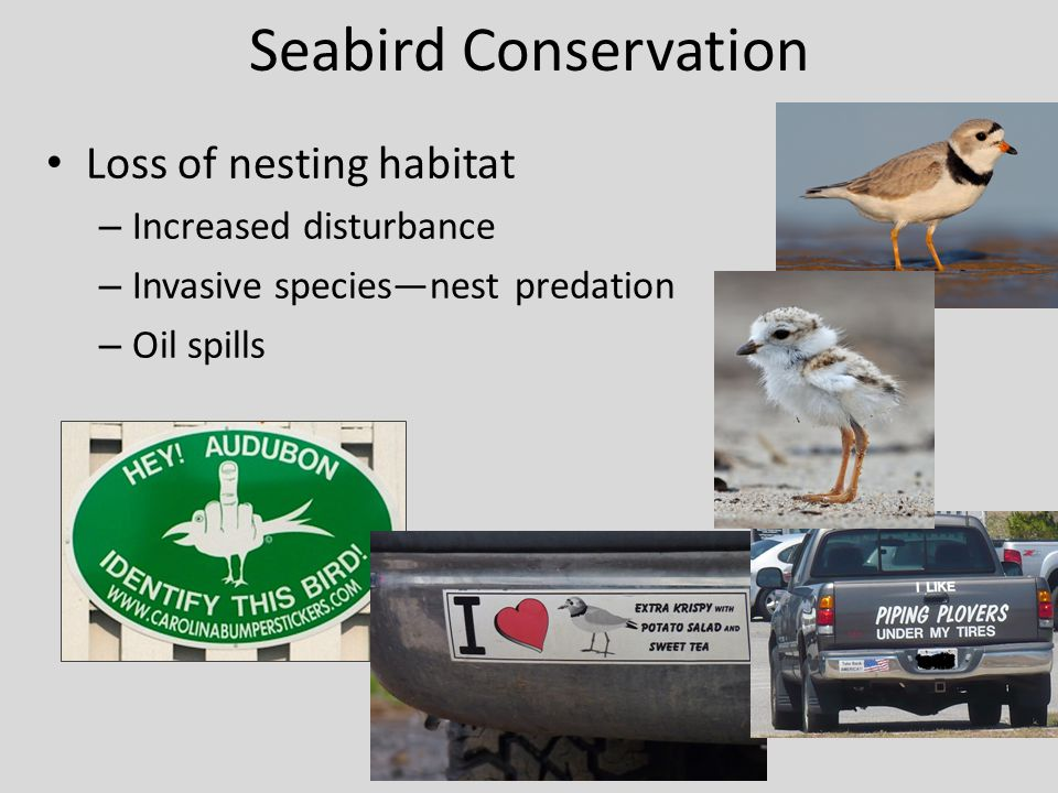 Seabird Conservation Loss of nesting habitat Increased disturbance