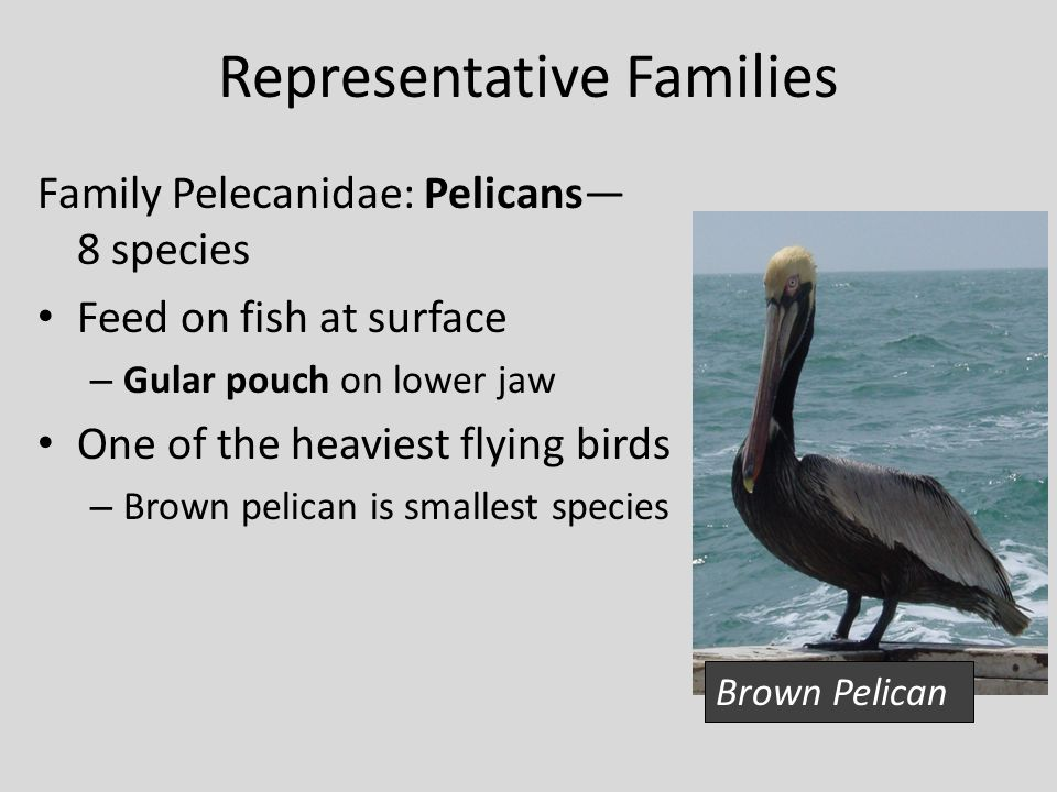 Seabirds lecture ppt download for Oily fish representative species