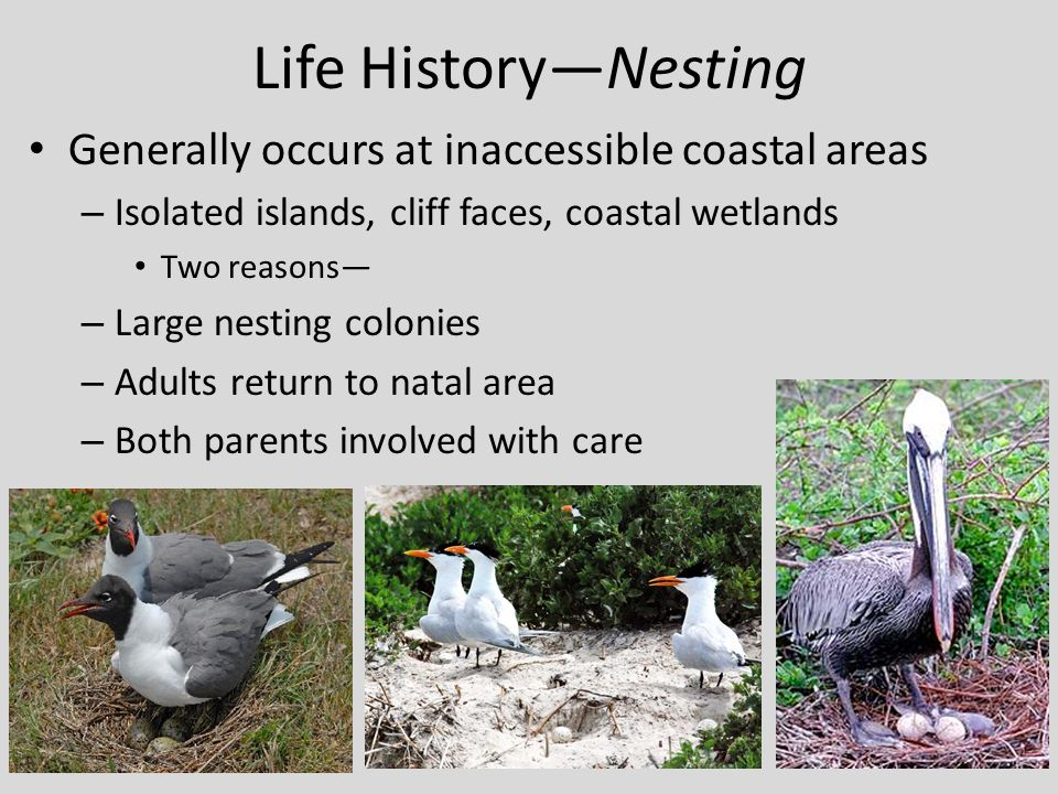 Life History—Nesting Generally occurs at inaccessible coastal areas