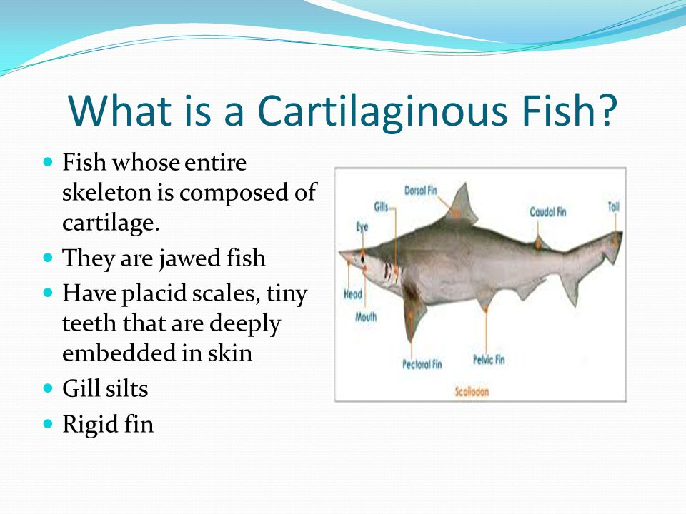 What is a Cartilaginous Fish