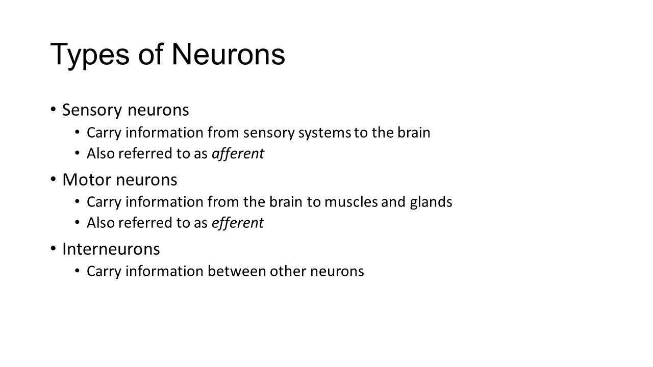 Types of Neurons Sensory neurons Motor neurons Interneurons
