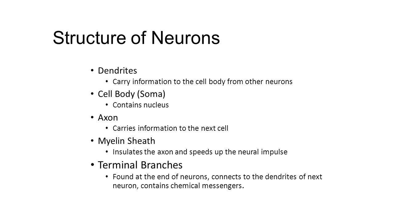 Structure of Neurons Terminal Branches Dendrites Cell Body (Soma) Axon