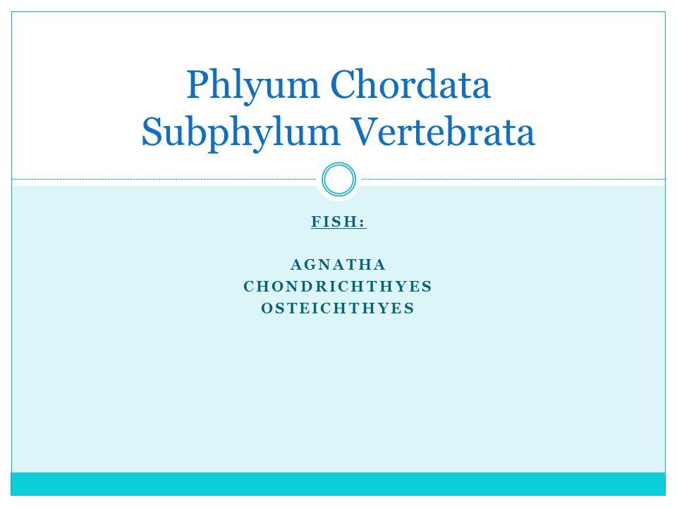 Phlyum Chordata Subphylum Vertebrata