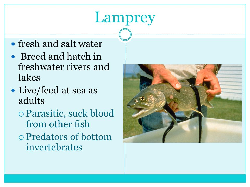 Lamprey fresh and salt water
