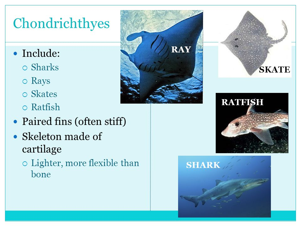 Chondrichthyes Include: Paired fins (often stiff)