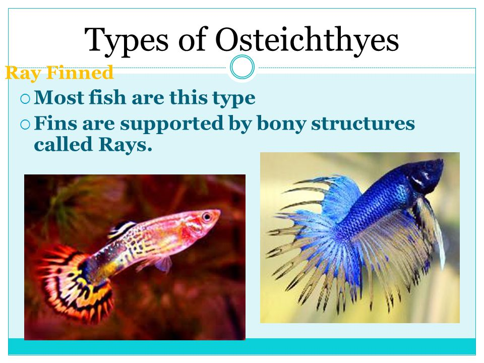 Types of Osteichthyes Most fish are this type