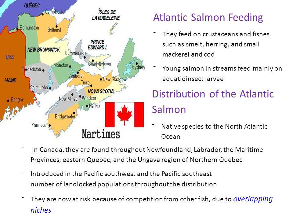Atlantic Salmon Feeding
