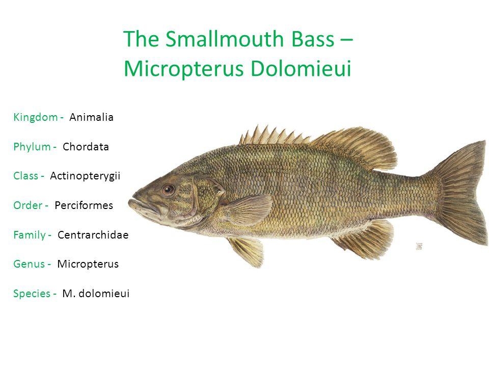 Micropterus Dolomieui