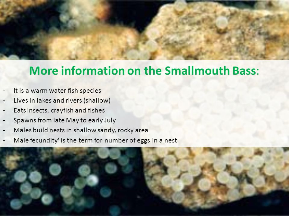 More information on the Smallmouth Bass: