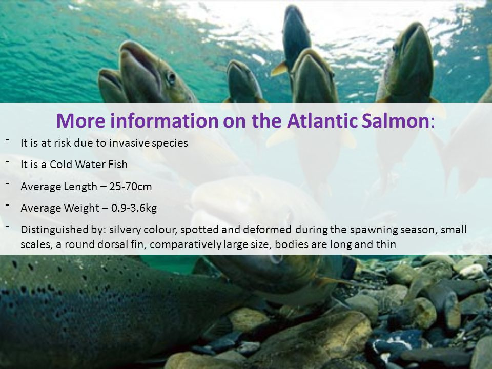 More information on the Atlantic Salmon: