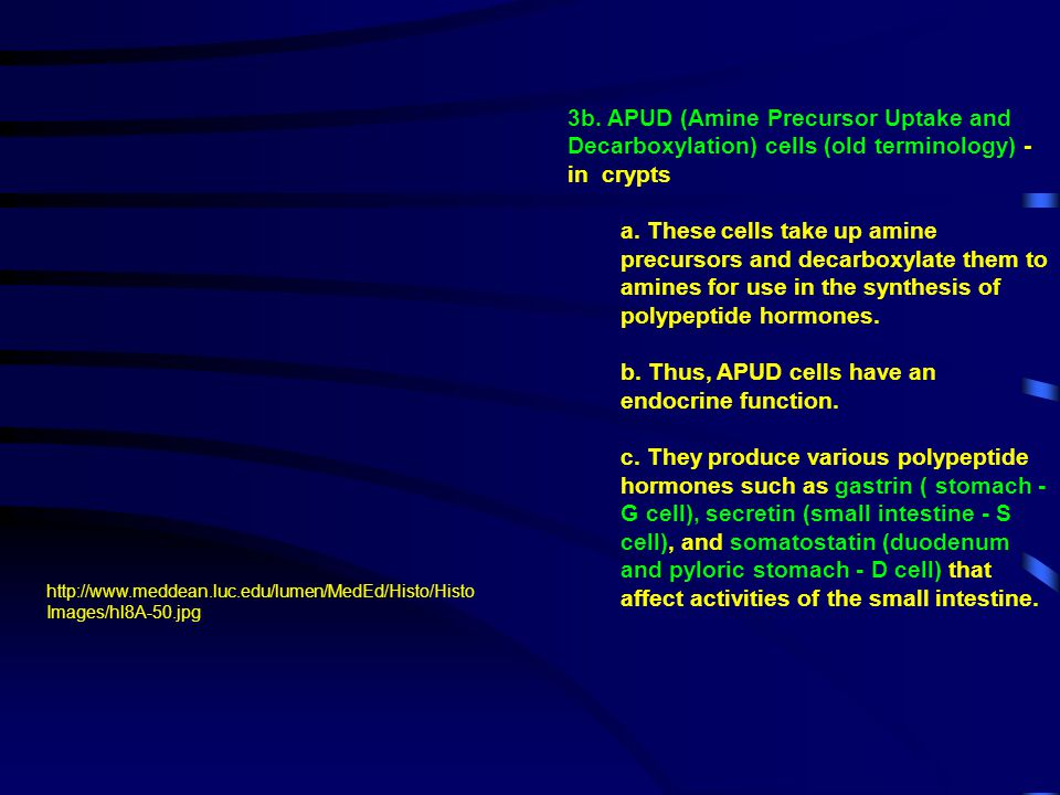 b. Thus, APUD cells have an endocrine function.