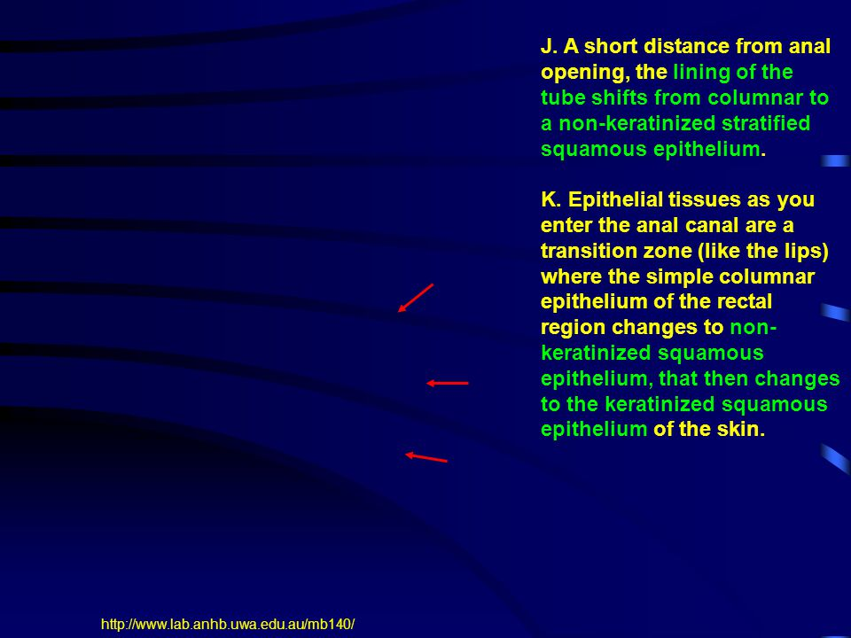 J. A short distance from anal opening, the lining of the tube shifts from columnar to a non-keratinized stratified squamous epithelium.
