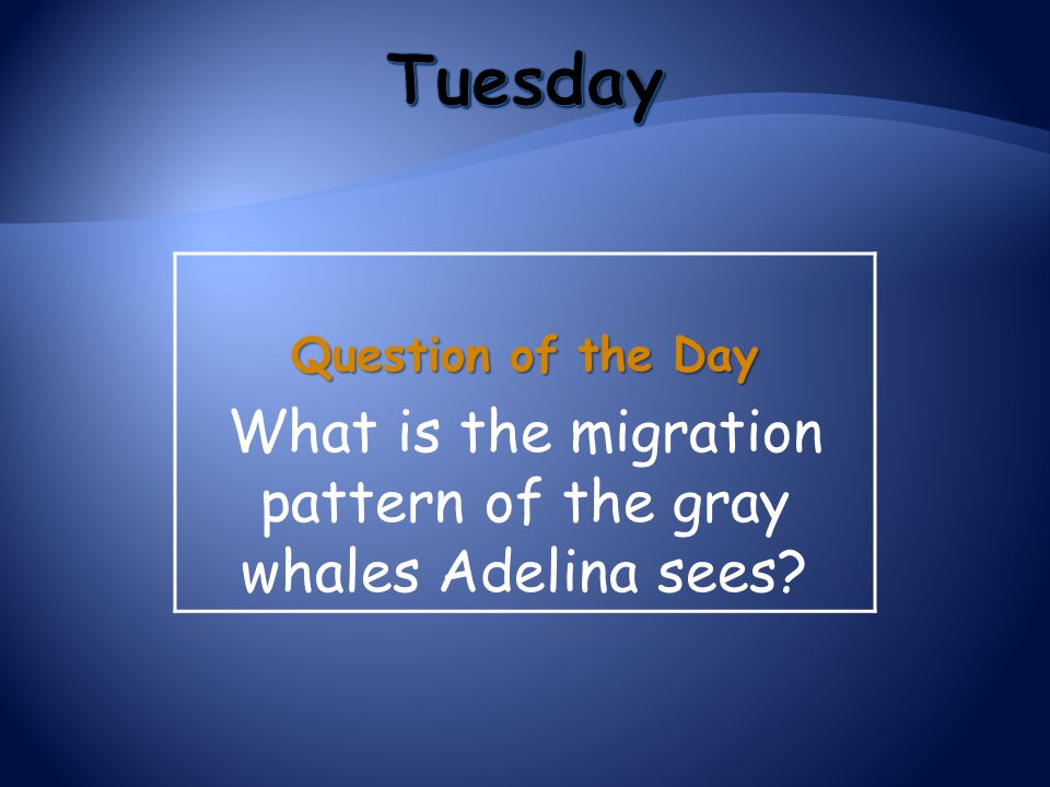 What is the migration pattern of the gray whales Adelina sees