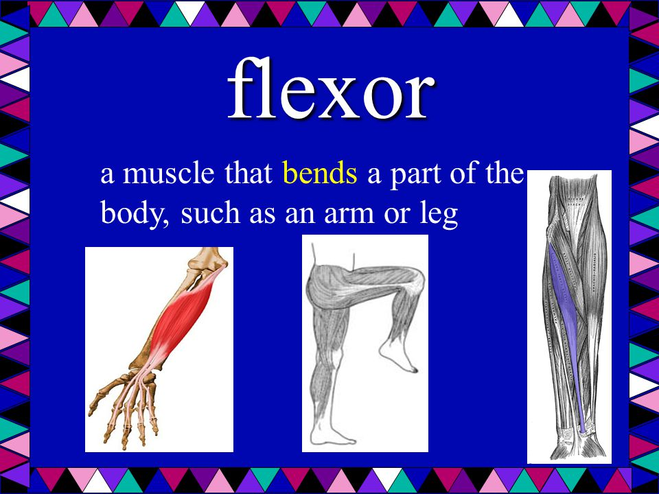 flexor a muscle that bends a part of the body, such as an arm or leg