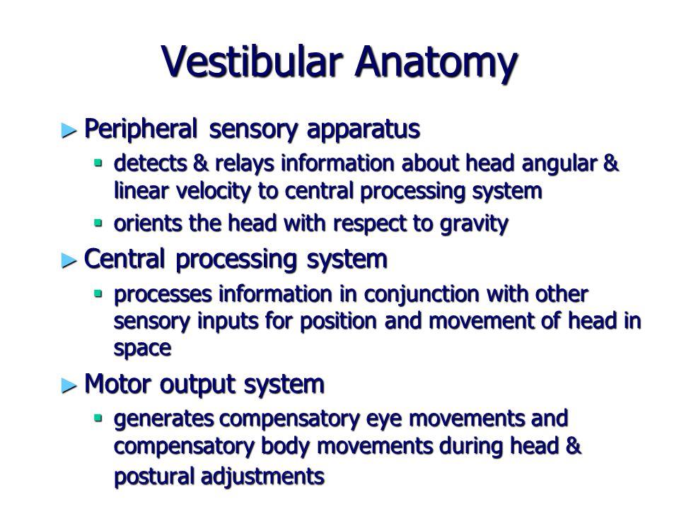 Vestibular Anatomy Peripheral sensory apparatus