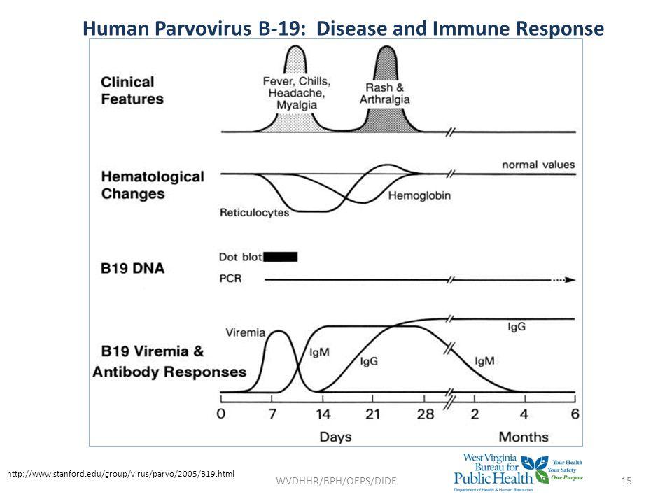 Human Parvovirus B-19: Disease and Immune Response