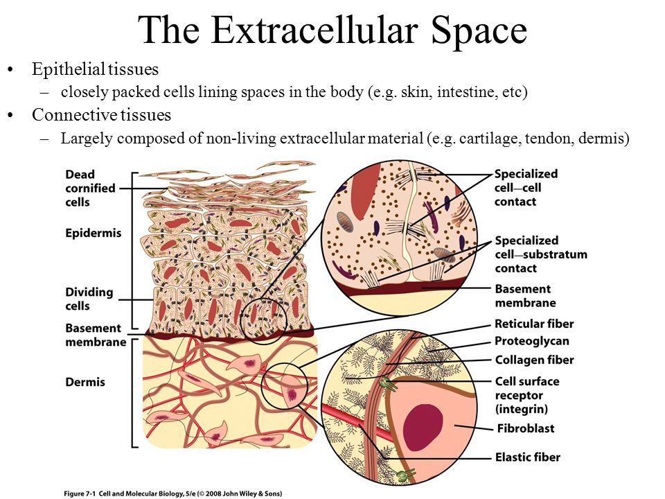 The Extracellular Space