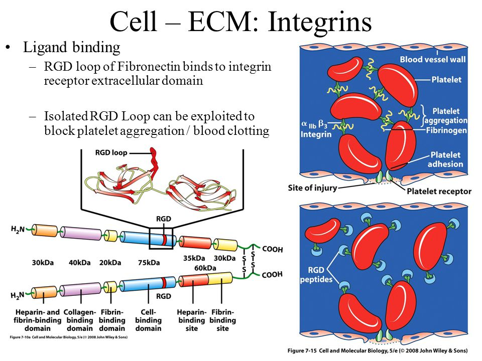 Cell – ECM: Integrins Ligand binding