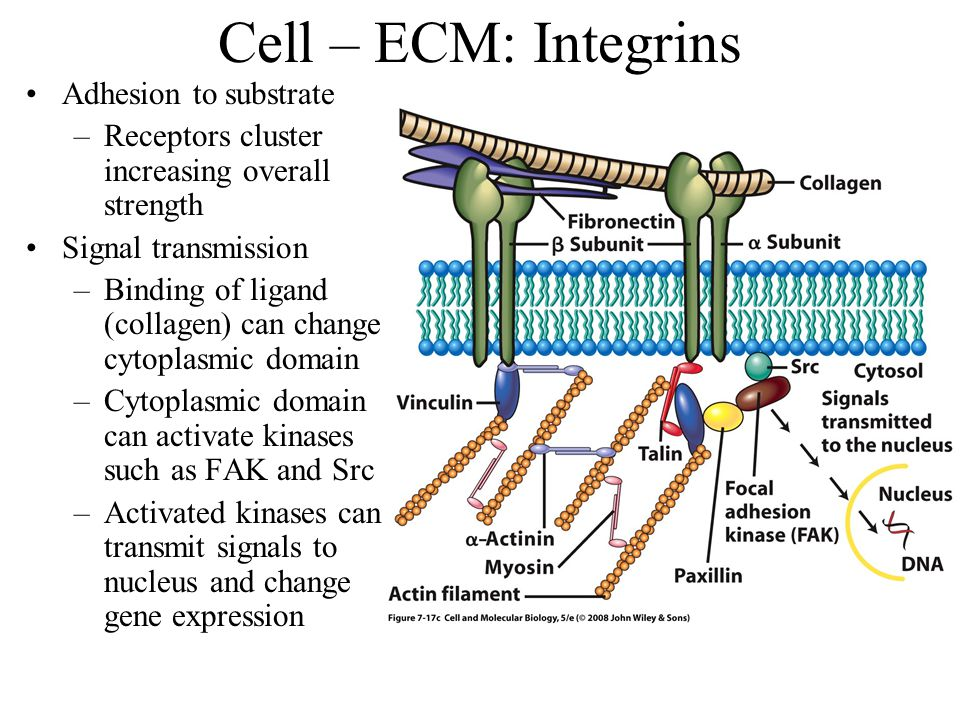 Cell – ECM: Integrins Adhesion to substrate