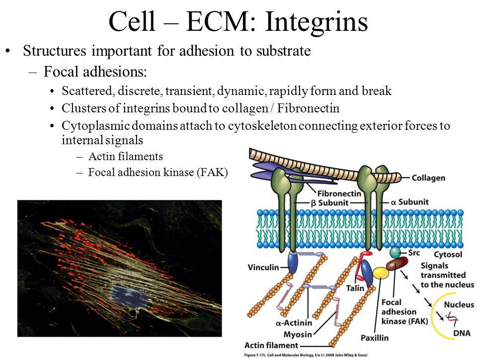 Cell – ECM: Integrins Structures important for adhesion to substrate