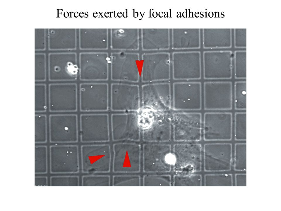 Forces exerted by focal adhesions