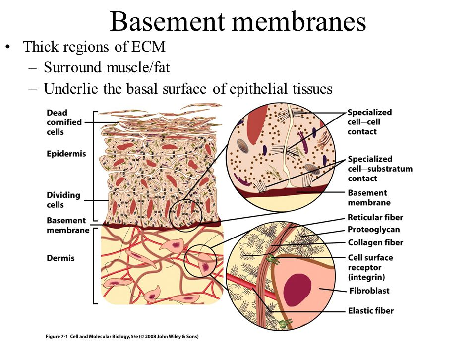 Basement membranes Thick regions of ECM Surround muscle/fat