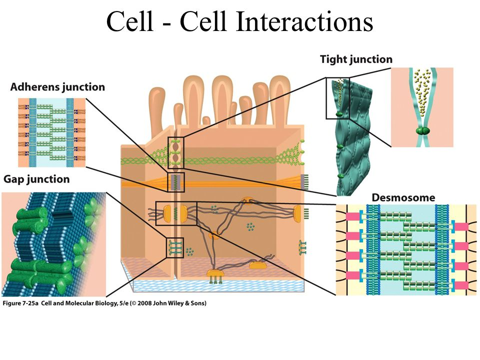 Cell - Cell Interactions