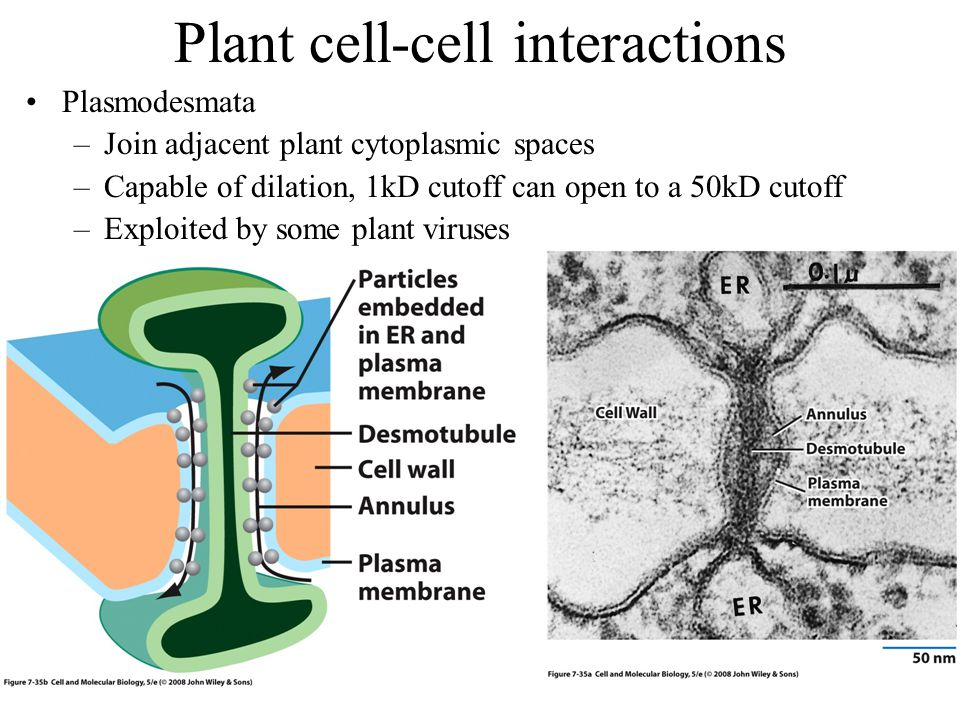 Plant cell-cell interactions