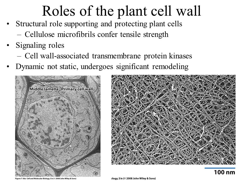 Roles of the plant cell wall