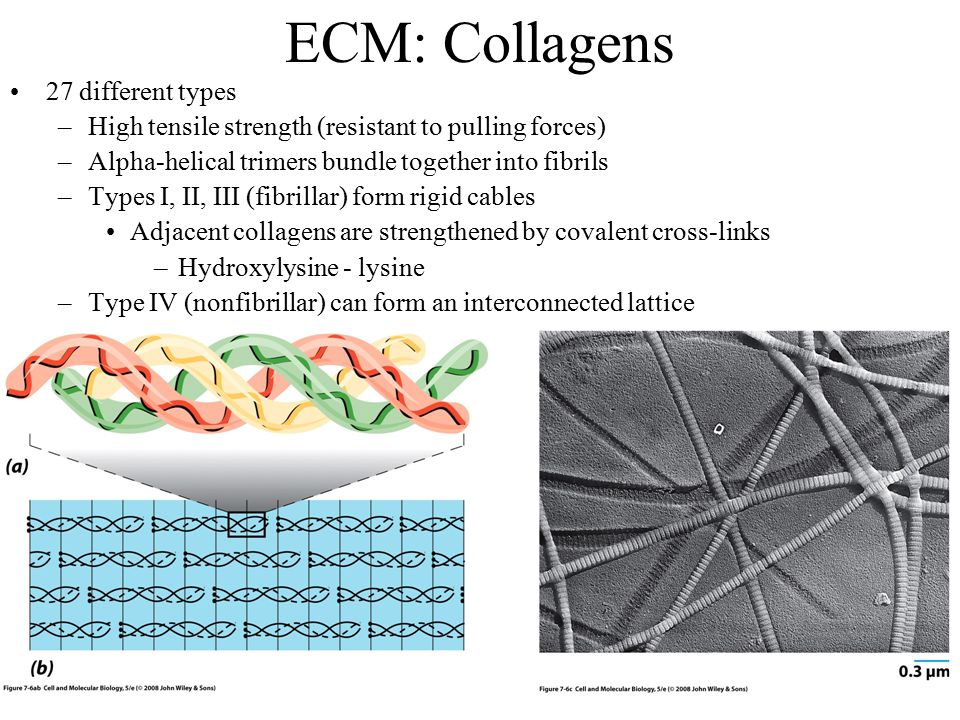 ECM: Collagens 27 different types