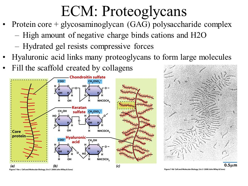 ECM: Proteoglycans Protein core + glycosaminoglycan (GAG) polysaccharide complex. High amount of negative charge binds cations and H2O.