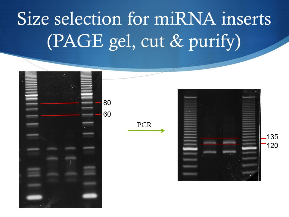 Size selection for miRNA inserts (PAGE gel, cut & purify)
