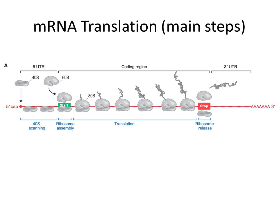 mRNA Translation (main steps)