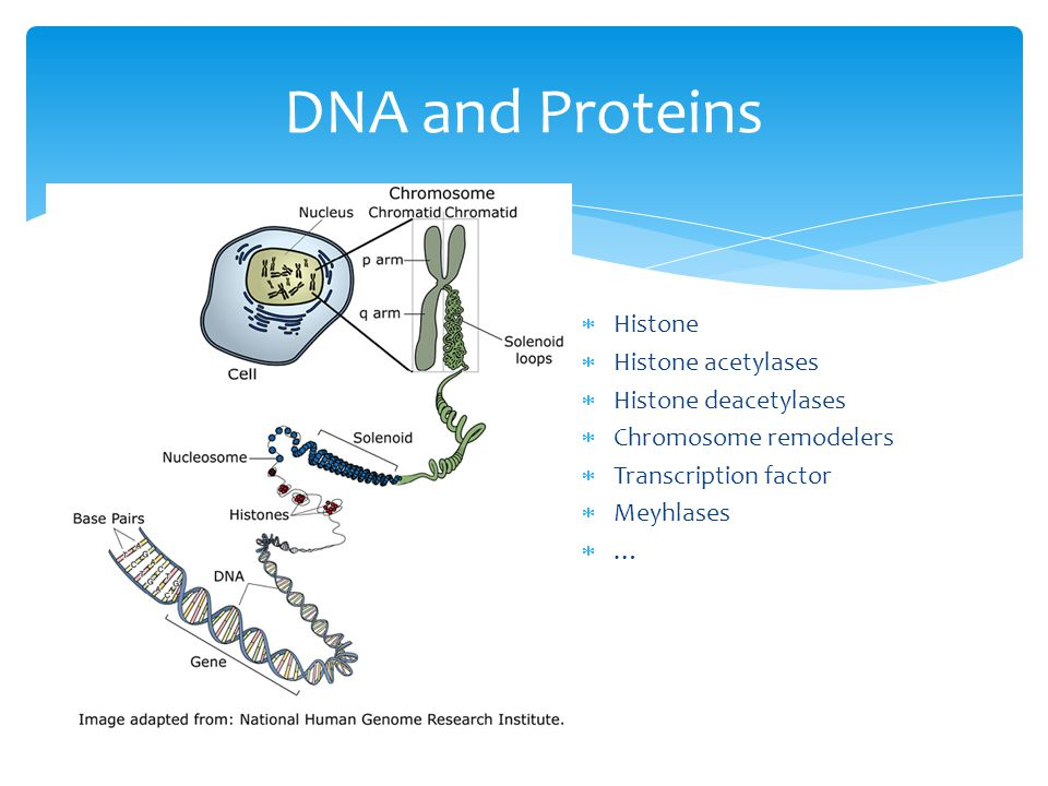 DNA and Proteins Histone Histone acetylases Histone deacetylases