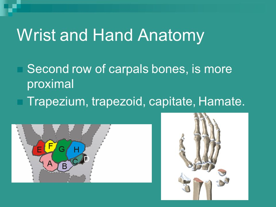 Wrist and Hand Anatomy Second row of carpals bones, is more proximal