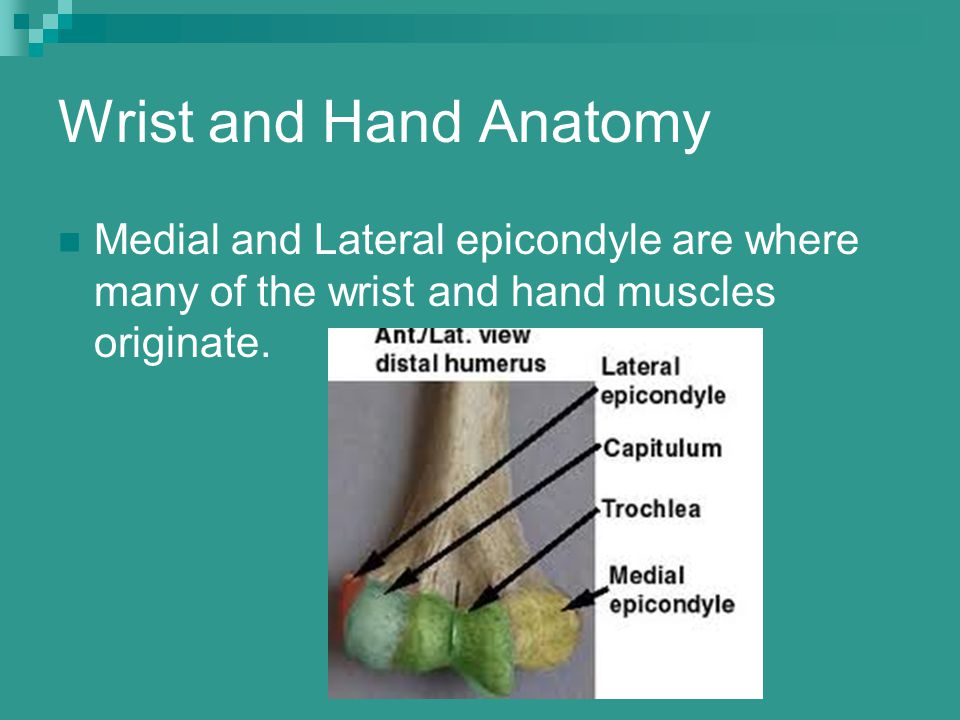 Wrist and Hand Anatomy Medial and Lateral epicondyle are where many of the wrist and hand muscles originate.