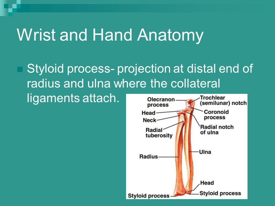 Wrist and Hand Anatomy Styloid process- projection at distal end of radius and ulna where the collateral ligaments attach.
